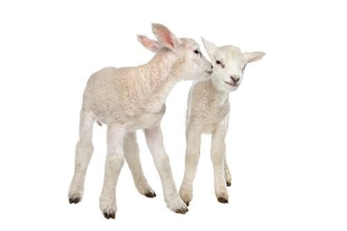 Совместимость овцы и других